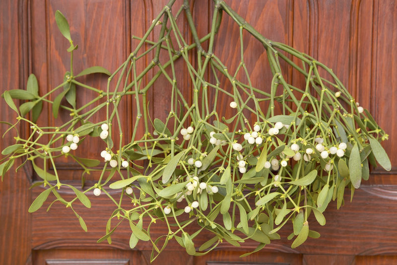 Mistletoe is a Parasitic Explosive Plant That Maybe You Shouldn't Stand Underneath